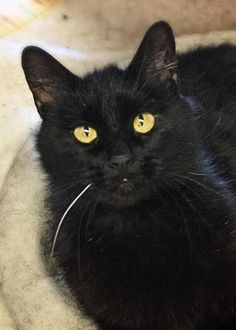 ADOPTED! Meet Monica, a Petfinder adoptable Domestic Short Hair-black Cat | Glenwood Springs, CO | 5 year old sweetie Monica was picked up as a stray recently and we've been getting to know her...