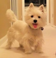 Smiling Westie...one happy little Westie
