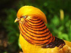 Faisão Canário - Aves Ornamentais - Faisão   Fazenda Visconde