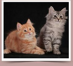 SIBERIAN FOREST KITTENS.SIBERIAN KITTENS FOR SALE
