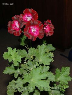 Beautiful Flowers, Spring Garden Flowers, Flower Garden, Flowers, Geranium Flower, Hardy Perennials, Pelargonium, Perennials, Ivy Geraniums