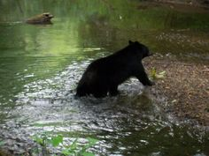 Bear cub playing in the river in #Cades #Cove