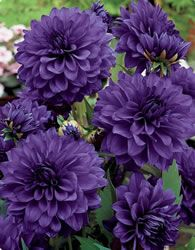 Would love to pop some of the dark purple dahlias into bud vases