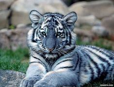 Blue Maltese Tiger - The Maltese tiger, or blue tiger, is a reported but unproven coloration morph of a tiger, reported mostly in the Fujian Province of China.