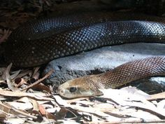 """The Taipan...Most toxic venom out of all snake species world wide! Where can it be found...That""""s Right...AUSTRALIA"""