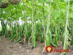 Ako zvýšiť úrodu uhoriek v dvoch krokoch! Planting Vegetables, Vegetable Garden, Flora, Seeds, Home And Garden, Gardening, Green, Survival, Vases