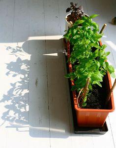 basilicum planten