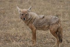 Golden Jackal (Canis aureus), also known as the common jackal, Asiatic jackal, gold-wolf is a Canid of the genus Canis indigenous to north and northeastern Africa, southeastern and central Europe (up to Austria and Hungary), Asia Minor, the Middle East and southeast Asia.