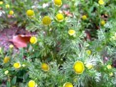 Pineapple Weed - flower heads taste of....PINEAPPLE! kids use to eat these flowers as sweets....before sweets.