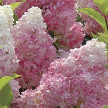 Vanilla Strawberry Hydrangea | Hydrangea | Shrubs | Shrubs & Trees | Jung Garden and Flower Seed Company
