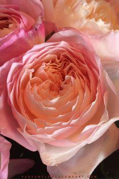 David Austin Wedding Rose Constance 007 2