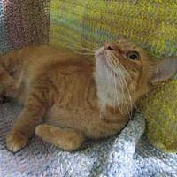 URGENT  Winter Haven, Florida - Domestic Shorthair. Meet SIMBA, a for adoption. https://www.adoptapet.com/pet/20020797-winter-haven-florida-cat