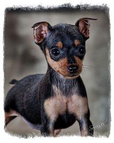 Adorable ♥ Miniature Pinscher Puppy