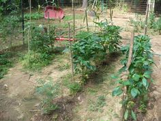 stake tomatoes - Google Search