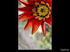 Joe Bell Flower #RedFlowers #freewallpapers