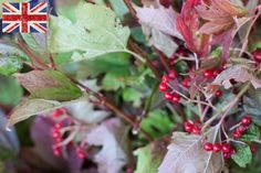 British Guelder berry, Autumn Foliage at New Covent Garden Flower Market - October 2015 New Covent Garden Market, Flower Market, Bloom, Marketing, Berry, October, British, Apple Orchard, Flowers