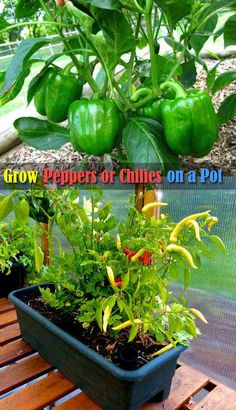 Place the bell peppers or chilies pot in a sunny spot and provide them right soil and organic fertilizer it will get you big harvest.