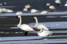 Just passing through: head to The Pinery to see and hear migrating tundra swans Ontario Parks, Swans, Bugs, Places To Visit, Creatures, Camping, Animals, Campsite, Animales