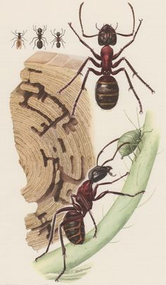 1957 Carpenter Ant Antique Print Formicidae Offset by Craftissimo, €13.95