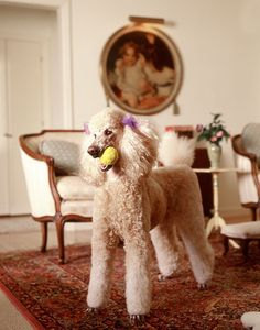 Poodle with ball.  How many times have I seen this?
