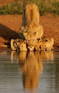 Imagenes de Tigres, Leones, Pumas..