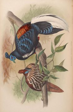 more@ - 1850 -  Birds of Asia / by John Gould; Sharpe, Richard Bowdler