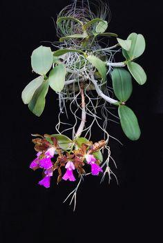 Unusual Flowers, Rare Flowers, Tiny Flowers, Beautiful Flowers, Orchid Flowers, Ikebana Flower Arrangement, Flower Arrangements, Orchids Garden, Roses Garden