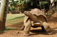 Fact: Tortoises retract their limbs into their shell when they are too hot.