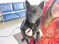 ADOPTED!  Meet Jack a Petfinder adoptable Schipperke Dog | Windom, MN | Jack was found near a local department store.  He is about 1 year old and has been neutered and...