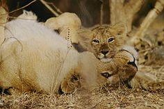 Asian Lions, Panthera Leo Persica by Mattias Klum