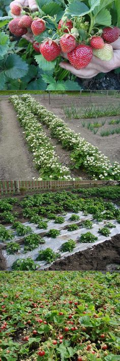 ДЕЛИМСЯ ИДЕЯМИ ПО ВЫРАЩИВАНИЮ КЛУБНИКИ | сад, огород | Постила