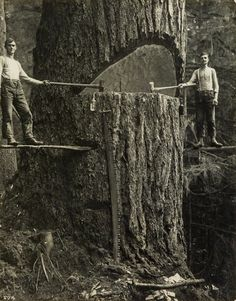 Two lumberjacks and a big tree, Pacific Northwest, 1915.