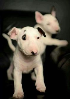 #Bull #Terrier puppies ♥