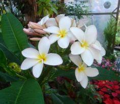 Jazmín Magno Backyard, Nature, Jasmine, White People, Green, Daffodils, White Roses, Patio, Naturaleza