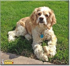 Read Kaci's story the Cocker Spaniel from Salt Lake City, Utah and see her photos at Dog of the Day http://DogoftheDay.com/archive/2014/September/04.html .