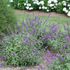 A new @Proven Winners Plants shrub - Lo & Behold®  'Blue Chip Jr' - Butterfly bush - Buddleia