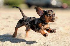 El Dachshund, perro original de Alemania, es también conocido como teckel, dackel o perro salchicha (del alemán dachs=tejón, hund=perro). ...