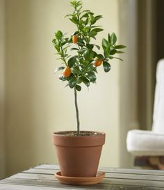 Potted kumquats