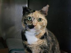 """TO BE DESTROYED 11/11/13 Manhattan Center PEARLA.ID # is A0983726. Spayed female calico.  I am about 7 YRS old.  I came in the shelter as a OWNER SUR on 10/31/2013 , owner reason:  MOVE2PRIVA. So moving means the cat dies. POS! """"Is there anything else you'd like to tell us about your cat?"""" NO. You've had the cat her entire life but NO nothing to say about this cat.  https://www.facebook.com/photo.php?fbid=695852953759873&set=a.576546742357162.1073741827.155925874419253&type=3&permPage=1"""