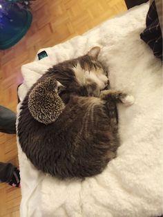 猫と色々な動物 23 ねこLatte+ ハリネズミですかね?