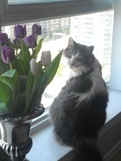 Franklin Cat | Pawshake