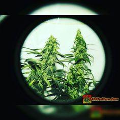 Karma Genetics Karmarado OG Grow (TK X SFV OG X WHITE OG)  High Pressure Aeroponics  1200 Watts  Karmarado OG at 7 weeks  Full grow journal at:  http://ift.tt/1YzBJiR  TAP LINK IN BIO @howtogrowweed420  #weed #marijuana #cannabis #medicalmarijuana #mmj #ogkush #og #loud #dank #hydroponics #aeroponics #howtogrowweed #growingweed #420dotcom #howtogrow #howtogrowweedindoors #karmagenetics  #awardwinningcircle #karma_squad_strong #karmarado #cinderella99 #brothersgrimmseeds