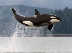 Killer Whale - British Columbia, what an AMAZING picture this is!