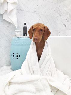 Vizsla puppy bath time #LouisetheViz