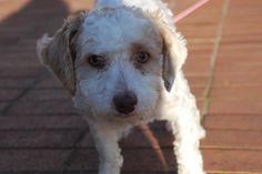 Bonita (Llasa Apso/Poodle Mix) - Available for adoption