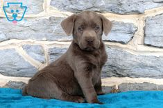 Wonderful Photo Labrador Retriever silver Concepts Does you only desired a new Labrador Retriever directly into your house? Do you think you're considering it? Silver Labrador Puppies, White Golden Retriever Puppy, Labrador Puppies For Sale, Cute Dogs And Puppies, Labrador Retriever Chocolate, Silver Labrador Retriever, Labrador Puppy Training, Most Popular Dog Breeds, Bull Terrier Dog