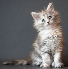 Main Coon kitten