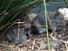 Snuggling for warmth in these colder months here at Healesville Sanctuary