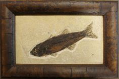 Knightia Fossil Fish From the Green river formation in handsome frame ready to display in your home or office.