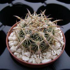 Echinomastus unguispinus v. laui PP 018